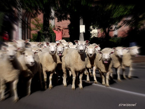Flock of sheep in an urban setting